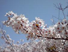 桜2011-2*.jpg